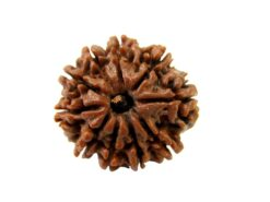 Original Natural Rudraksha