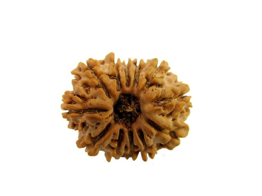 Original Natural Rudraksha