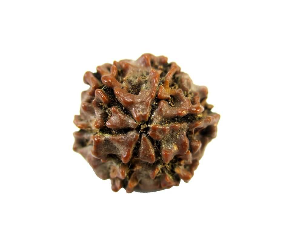 Natural 6 Mukhi Rudraksha Img 1